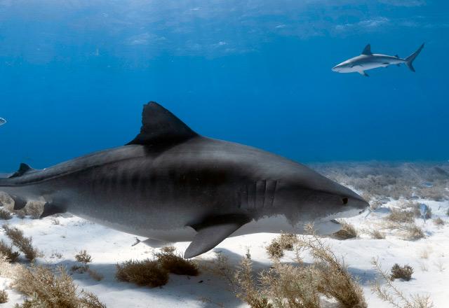 Emma Tiger Shark