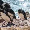 Rockhopper Penguin Banner