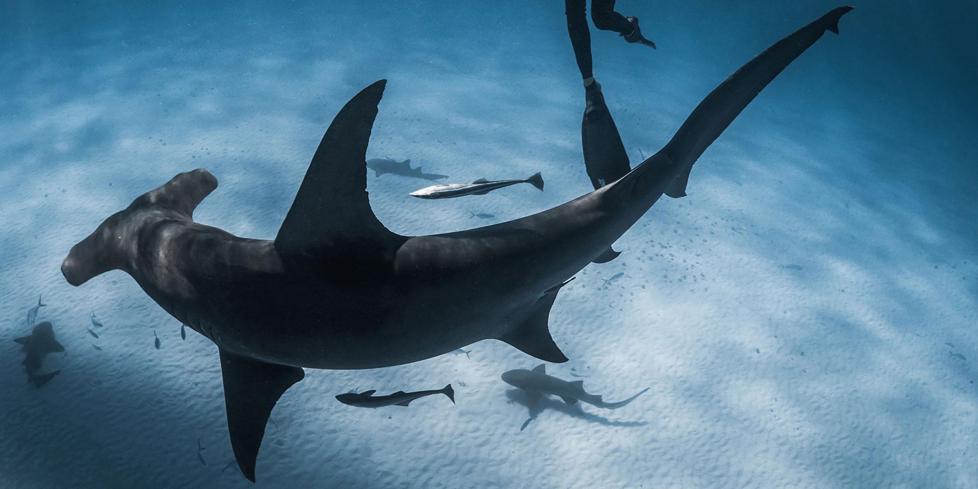 Jillian Freediving With Great Hammerhead Sharks, Camera, Underwater, wetsuit, Diving