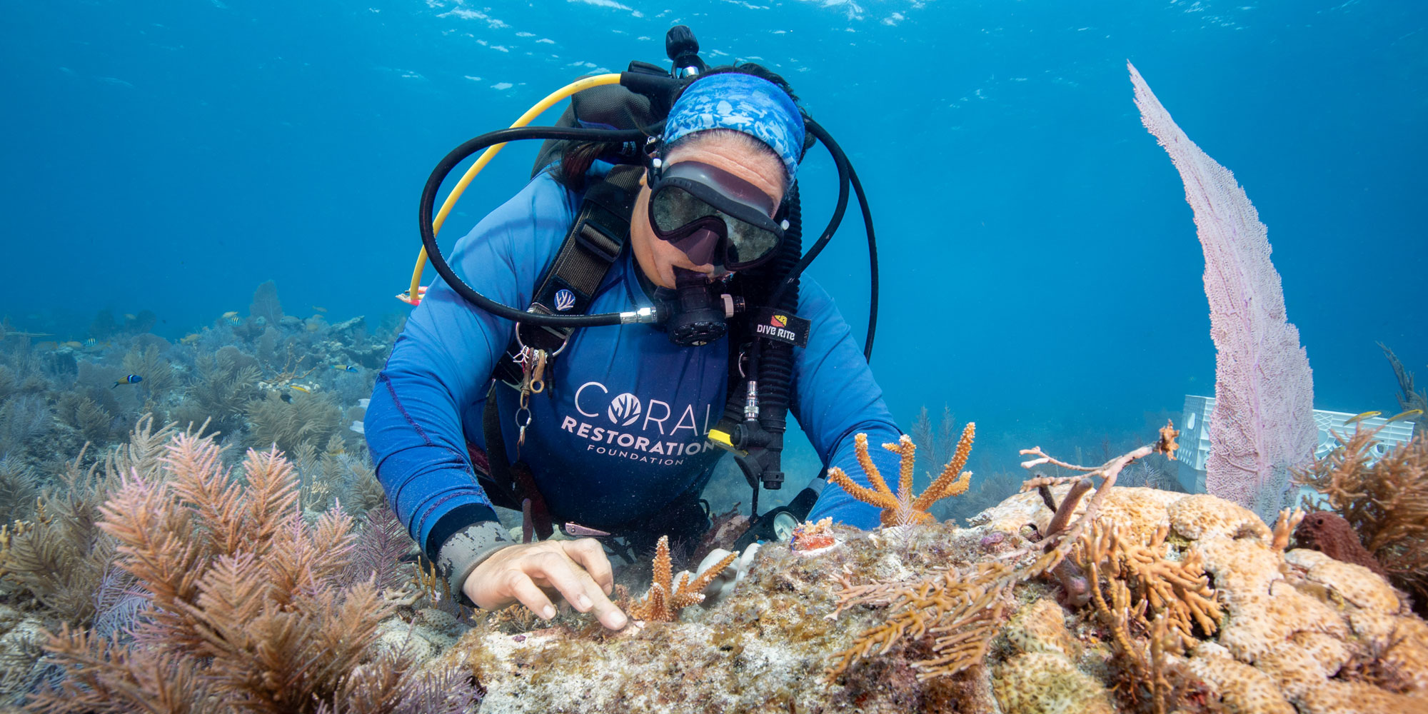 Jessica Levy secures new corals. Coral restoration