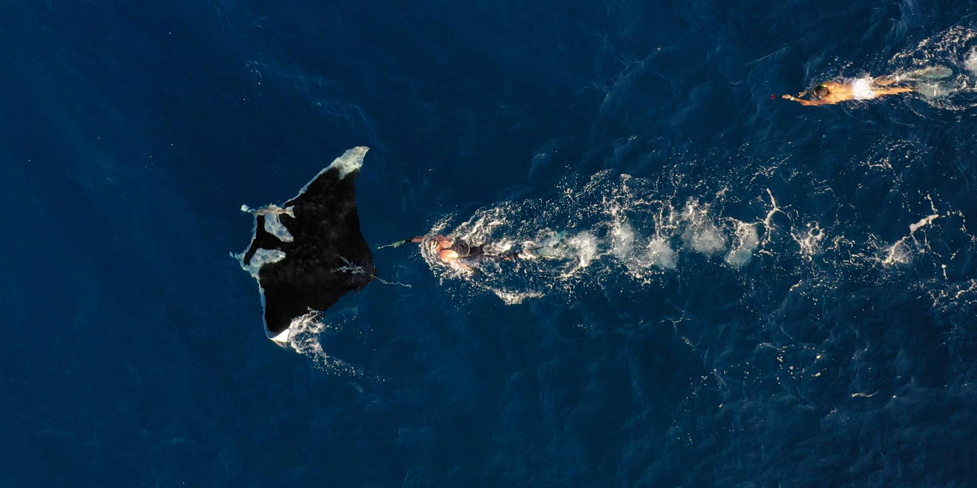 Tagging manta ray
